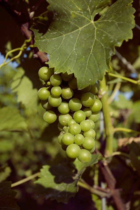 Grapes on the vine, Waupoos Winery